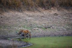Eine Tigerin, die ihren Schub im heißen Sommer löscht stockbild