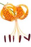 Eine Tigerlilie in der vertikalen Stellung Lizenzfreies Stockfoto
