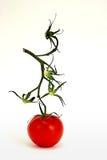 Eine Tomate übrig geblieben Lizenzfreies Stockbild