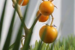 Eine Tomatenpflanze in unserem Garten Lizenzfreies Stockbild