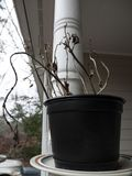 Eine tote Basilikumanlage in einem Plastiktopf, der draußen sitzt Stockfotografie
