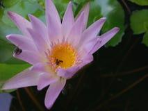 Eine tote Biene innerhalb einer Lotosblume Stockfotografie