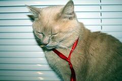 Eine träumende hübsche Katze in einem roten riibbon Stockfotos