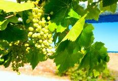 Eine Traubenniederlassung mit Beeren und Blättern auf einem Himmel als Hintergrund Stockfotografie