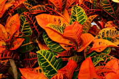 Eine tropische Anlage des Croton, die seine Farben vorführt Stockfoto
