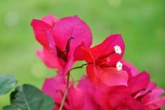 Eine tropische Blüte Lizenzfreies Stockfoto