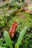Eine tropische Kannenpflanze (Fallhammercup) Stockbild