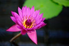 Eine tropische Wasser-Lilie Lizenzfreies Stockbild