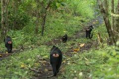 Eine Truppe von Celebes erklomm Makaken Macaca Nigra in Nationalpark Tangkoko in Nord-Sulawesi, Indonesien Stockbilder