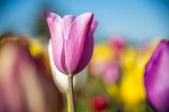Eine Tulpe auf einem Gebiet von Blumen Stockbilder