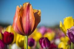 Eine Tulpe auf einem Gebiet von Blumen stockfotografie