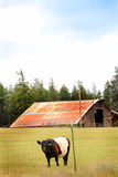 Eine umgeschnallte Galloway-Kuh Stockfotografie