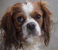 Eine unbekümmerte Hunderasse Königs Charles Spaniel Stockbilder