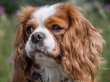 Eine unbekümmerte Hunderasse Königs Charles Spaniel Lizenzfreie Stockfotografie