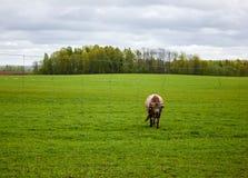 Eine verärgerte Kuh auf einer grünen Wiese Stockbilder