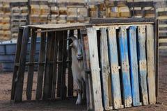 Eine versteckende Ziege Stockfotos