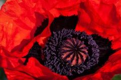 Eine vibrierende orange Blüte der orientalischen Mohnblume lizenzfreie stockfotografie