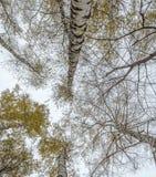 Eine Vielzahl der Birkenkrone im Herbstwald gegen das Grau Lizenzfreie Stockfotografie