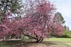 Eine Vielzahl der rosa Blüte wachsend im Überfluss stockbild
