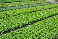 Eine Vielzahl des Gemüses und der Gemüsepläne Lizenzfreies Stockfoto