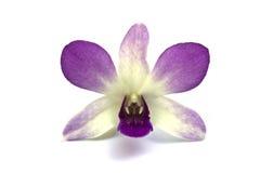 Eine violette Dendrobiumorchidee Stockbilder