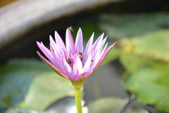Eine violette Lotosblume Lizenzfreie Stockfotos