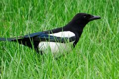 Eine Vogelelster geht in frisches grünes Gras vogelkunde stockbild