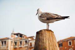 Eine Vogelmöve sitzt auf einem Klotz gegen Stockbild