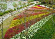 Eine Vogelperspektive eines Feldes der Tulpen nahe einem See Stockbild