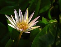 Eine volle Blüte Stockfoto