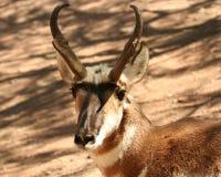 Eine Vorderansicht einer Pronghorn Antilope lizenzfreie stockfotos