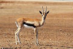 Eine würdevolle Gazelle Thomson mit gestreiften Hupen stockbild
