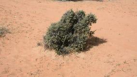 Eine Wüste plant sitzt allein in den trockenen, trockenen WüstenSanddünen an einem windigen Tag in Arabische Emirate stock video