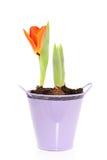 Eine wachsende orange Tulpe lizenzfreie stockbilder