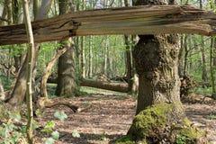 Eine Waldszene gestaltet durch alte Baumaste Lizenzfreies Stockfoto