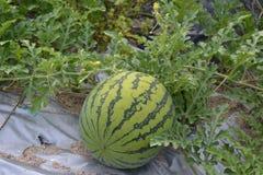 Eine Wassermelone Lizenzfreie Stockfotos