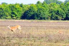 Eine weiß-angebundene Damhirschkuh und ihr Kitz gehen über ein Feld im kahlen Griff-Schutzgebiet im kahlen Griff Lizenzfreie Stockbilder