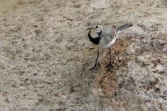 Eine weiße Bachstelze, alba des Motacilla alba, Großbritannien Lizenzfreie Stockbilder