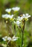 Eine weiße Blume Lizenzfreie Stockbilder