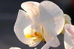 Eine weiße Blume belichtet durch goldenes Hintergrundlicht gegen Schwarzes Stockfoto