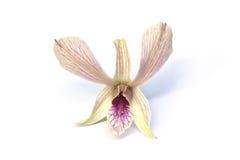 Eine weiße Dendrobiumorchidee Lizenzfreie Stockbilder