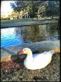 Eine weiße Ente Lizenzfreie Stockbilder