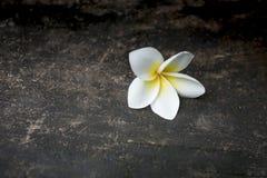 Eine weiße gelbe Frangipaniblume Lizenzfreies Stockfoto