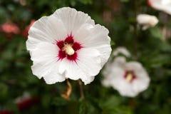Eine weiße Hibiscusblume Stockfoto
