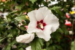 Eine weiße Hibiscusblume Lizenzfreies Stockfoto