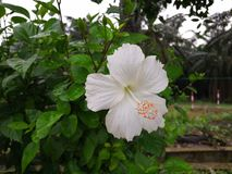 Eine weiße Hibiscusblume in Malaysia lizenzfreie stockfotografie
