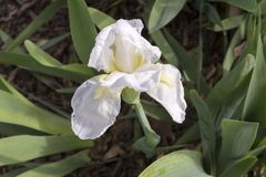 Eine weiße Iris mit gelbem Bart-vielleicht Vielflieger Stockbild