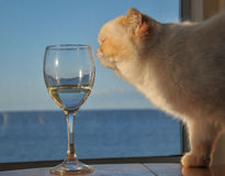 Eine weiße Katze, die ein Weinglas schnüffelt Lizenzfreies Stockbild