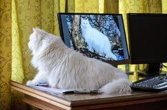 Eine weiße Katze, die nah an Monitor auf hölzernem Schreibtisch sitzt lizenzfreie stockfotos