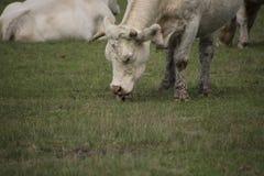 Eine weiße Kuh isst Gras am Bauernhof Stockfotografie